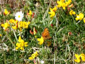 Small Pearl-Bordered FritillaryButterfly