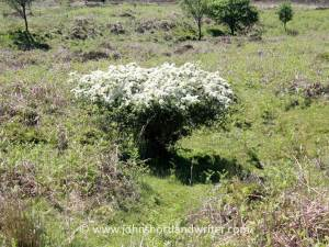 Stunted and sheep grazed hawthorn