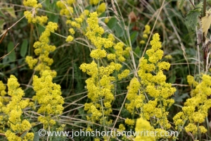 Ladies Bedstraw - sometimes confused with ragwort should not be disturbed