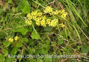 Ragwort flowers