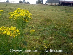 Ragwort and horses - not a good combination