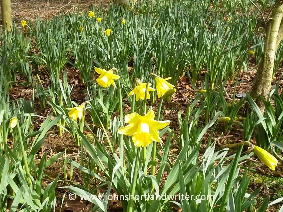 Daffodils (2)   copyright