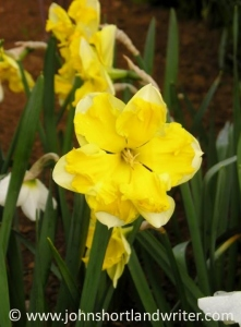 Narcissus 'Chanterelle'