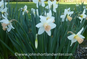 Narcissus 'Salome'