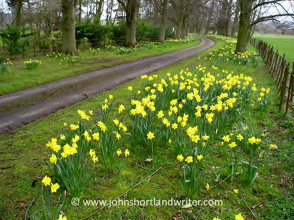 Naturalised Daffodils (3)   copyright