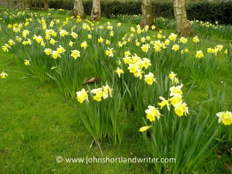 Naturalised Daffodils   copyright
