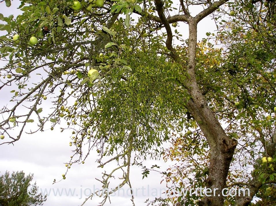 Mistletoe (2)   copyright.jpg