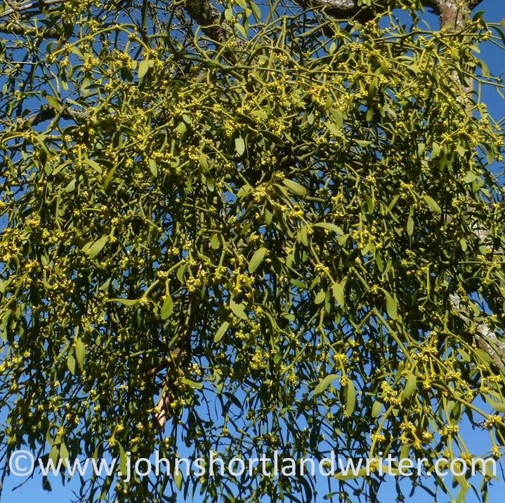 Mistletoe (5)   copyright.jpg