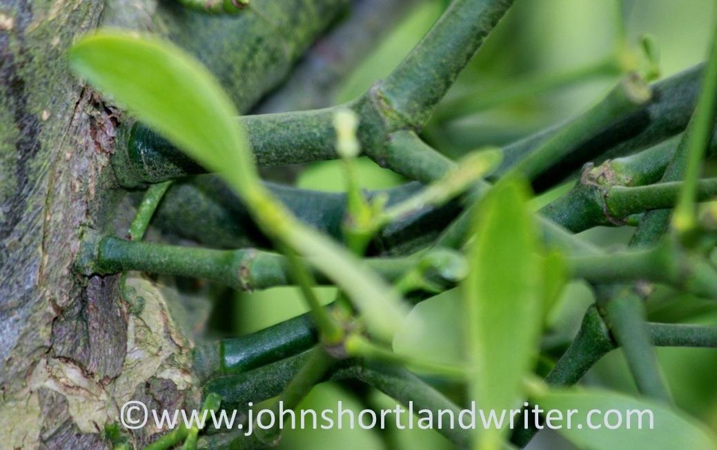 Mistletoe Anchor Point   copyright.jpg