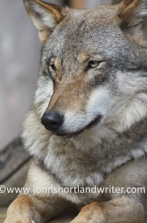 Wolf  copyright .jpg