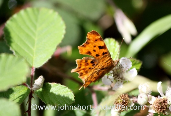 Comma Butterfly (2)   copyright