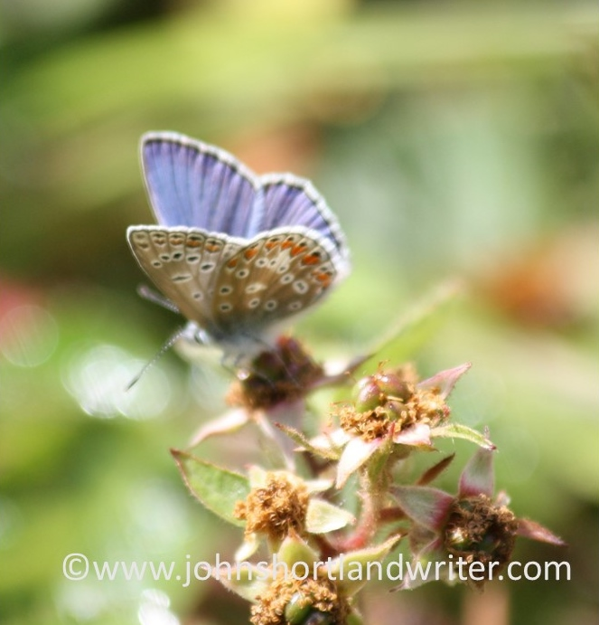 Common Blue Butterfly   copyright