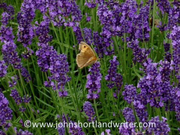 Meadow Brown Butterfly   copyright