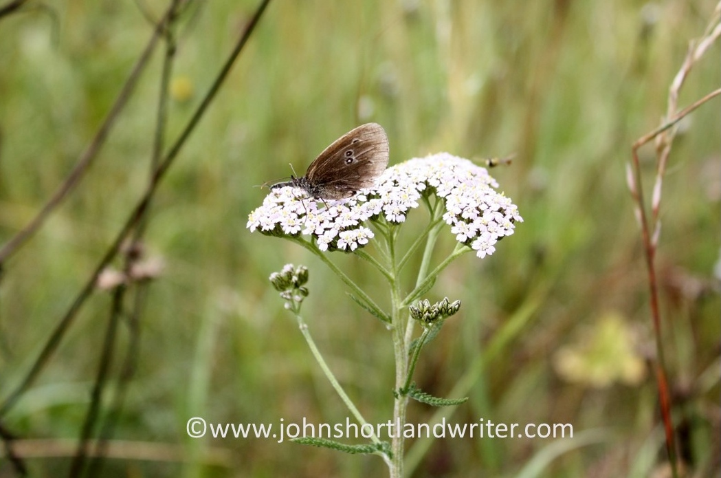 Meadow Brown Butterfly - male   copyright
