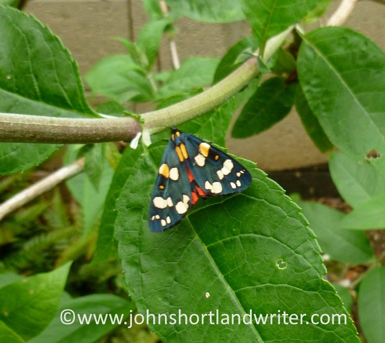 Scarlet Tiger Moth (2)   copyright
