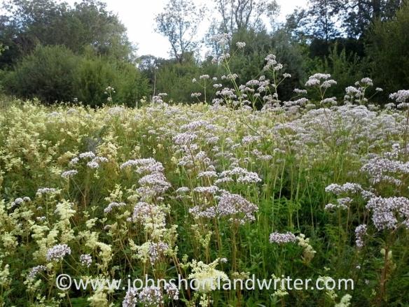 meadowsweet-valerian-copyright