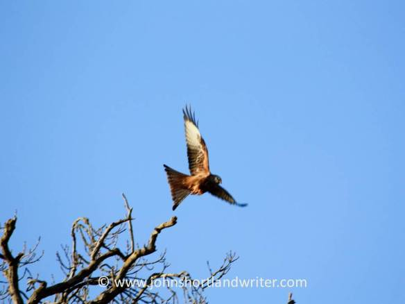 red-kite-6-copyright
