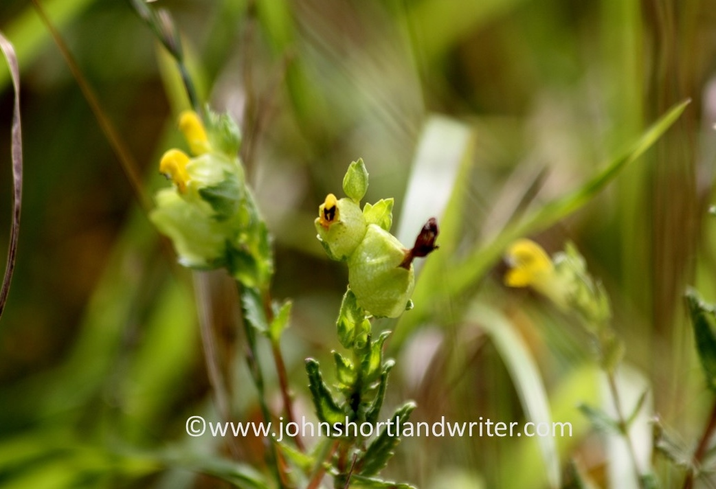 yellow-rattle-copyright