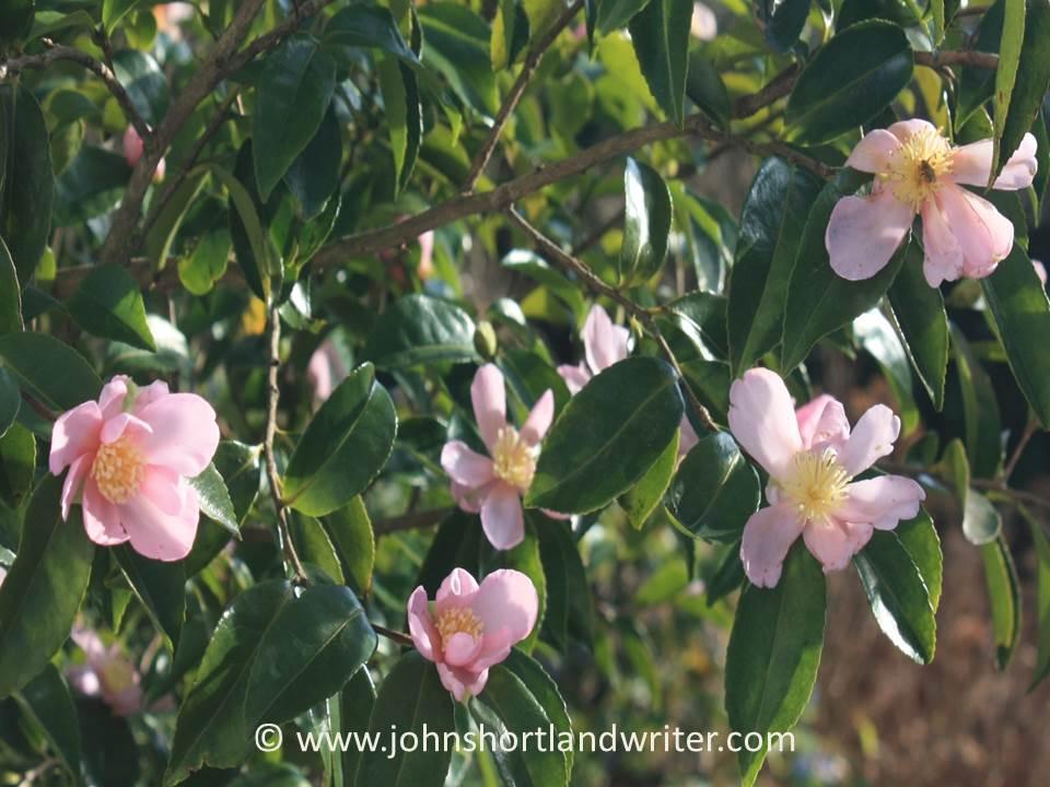 camellia-sasanqua-peach-blossom-copyright