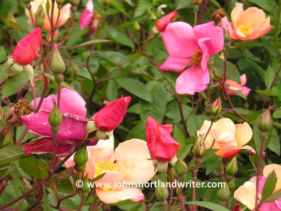 rosa chinensis 'mutabilis' copyright.jpg