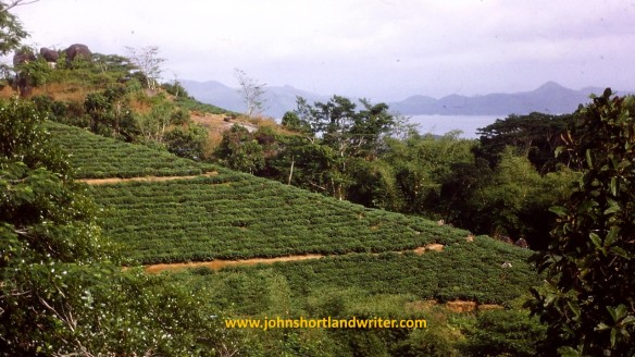 tea plantation copyright.jpg