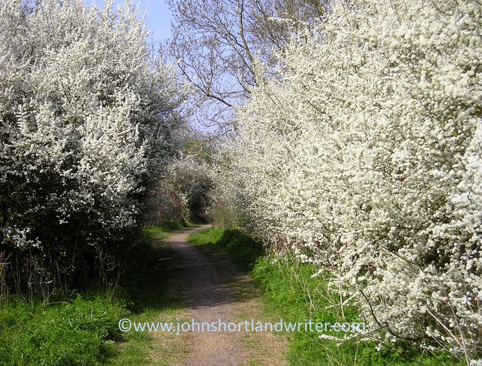 blackthorn-blossoms-crowd-an-old-cotswold-green-lane-copyright