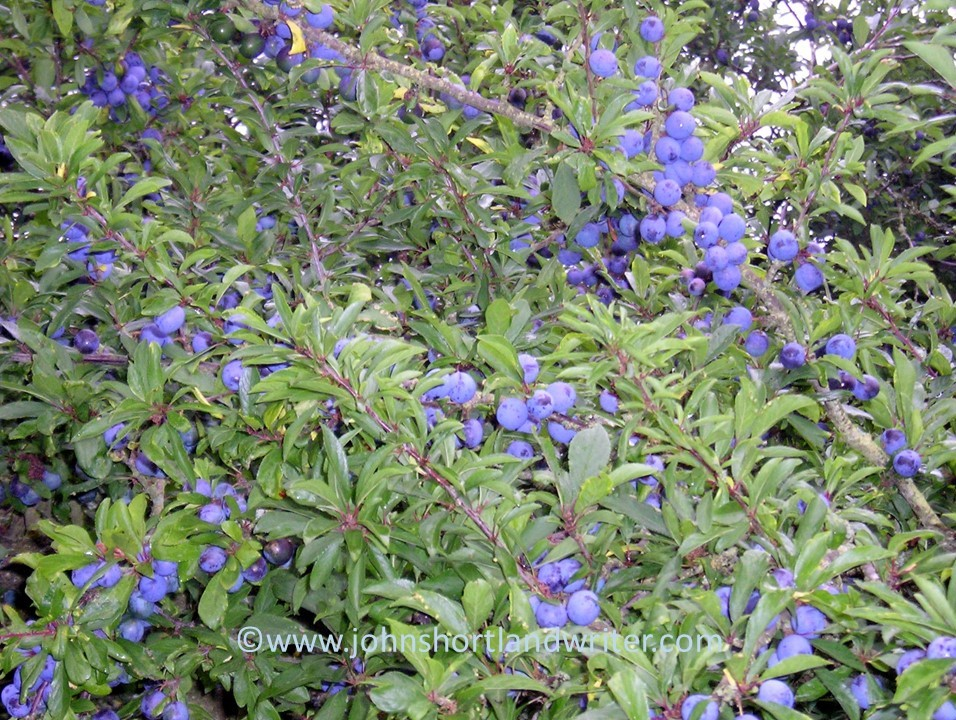 blackthorn-sloes-copyright