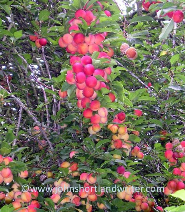 cherry-plums-copyright