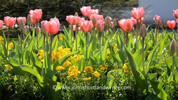 Tulips - pink copyright