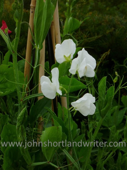 Sweet Pea copyright