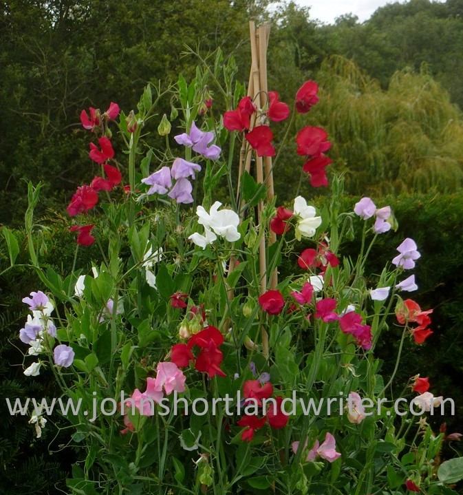 Sweet Peas (3) copyright