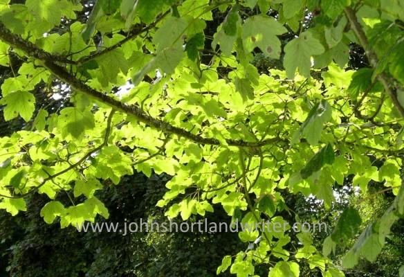 Acer pseudoplatanus watermark