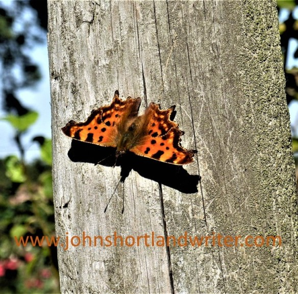 Comma Butterfly (4) watermark