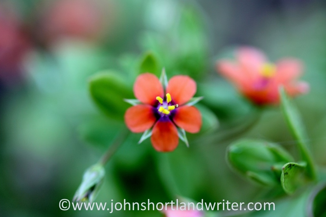 Scarlet Pimpernel (2) copyright