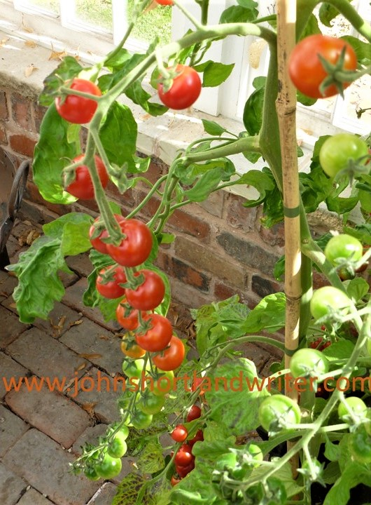 Tomato 'Cherrola' F1 watermark