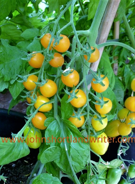 Tomato 'Golden Sweet' watermark