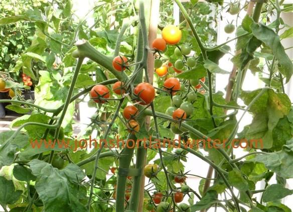 Tomato 'Sungold' watermark