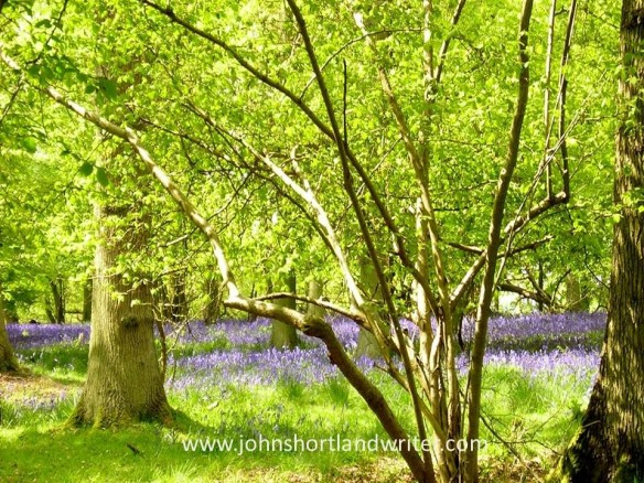 Chilterns Beechwood copyright