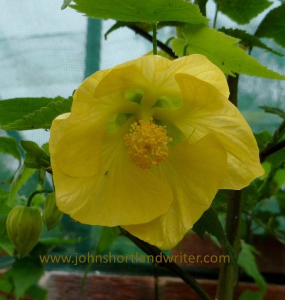 Abutilon 'Canary Bird' watermark