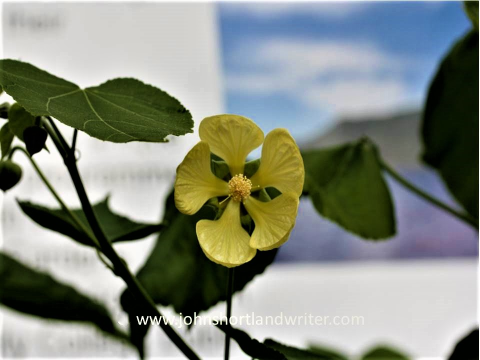 Abutilon pitcairnense copyright