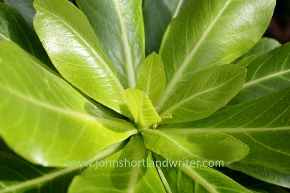Brighamia insignis (3) watermark