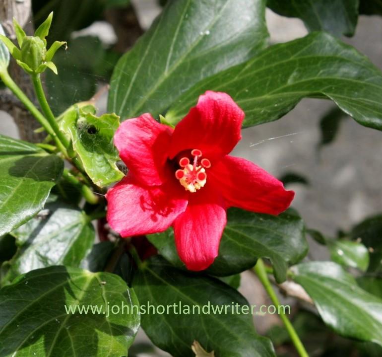 Hibiscus boryanus (3) watermark