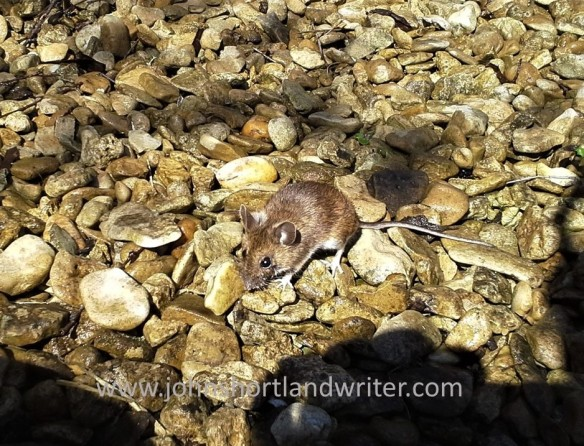 Field Mouse watermark