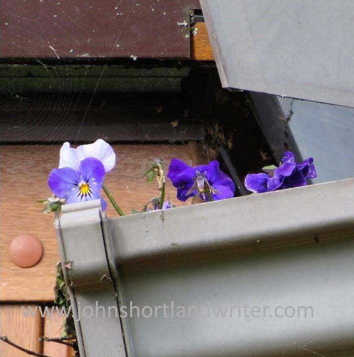Viola watermark