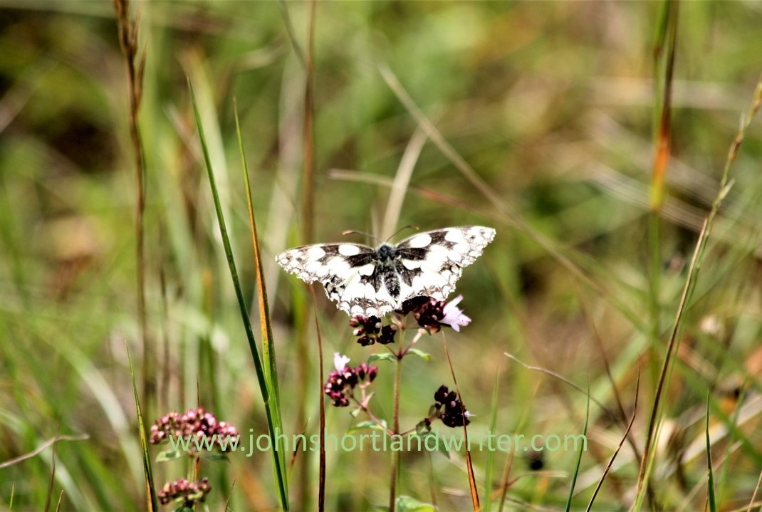 Marbled White Butterfly (2) watermark