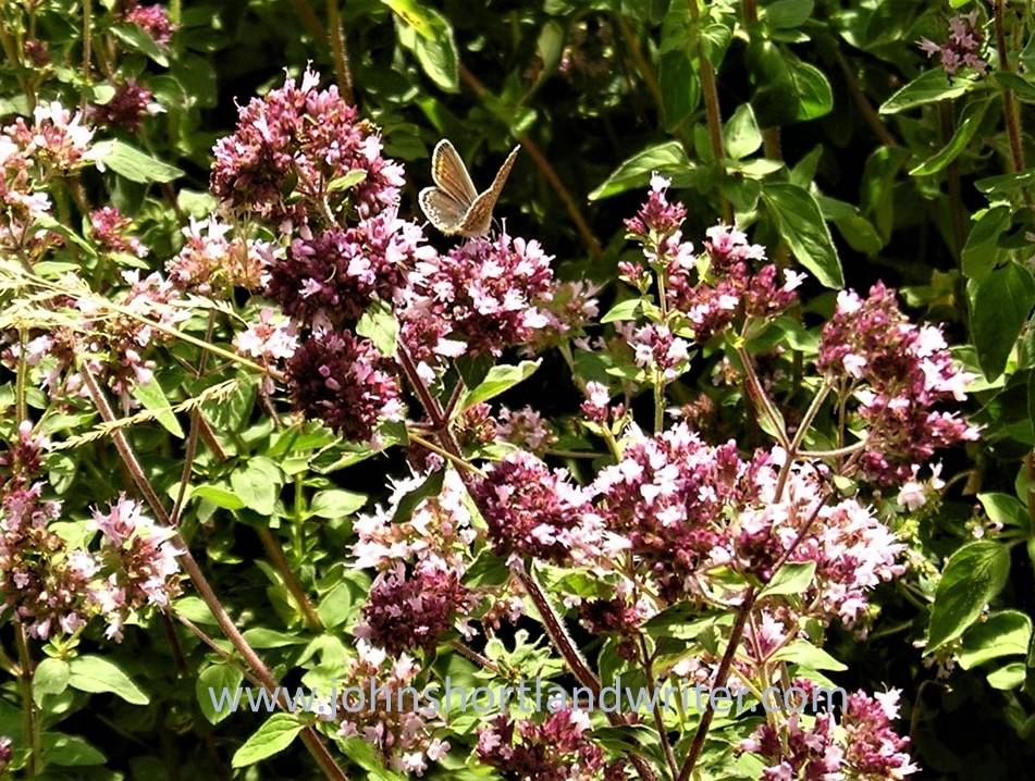 Marjoram & Butterfly watermark