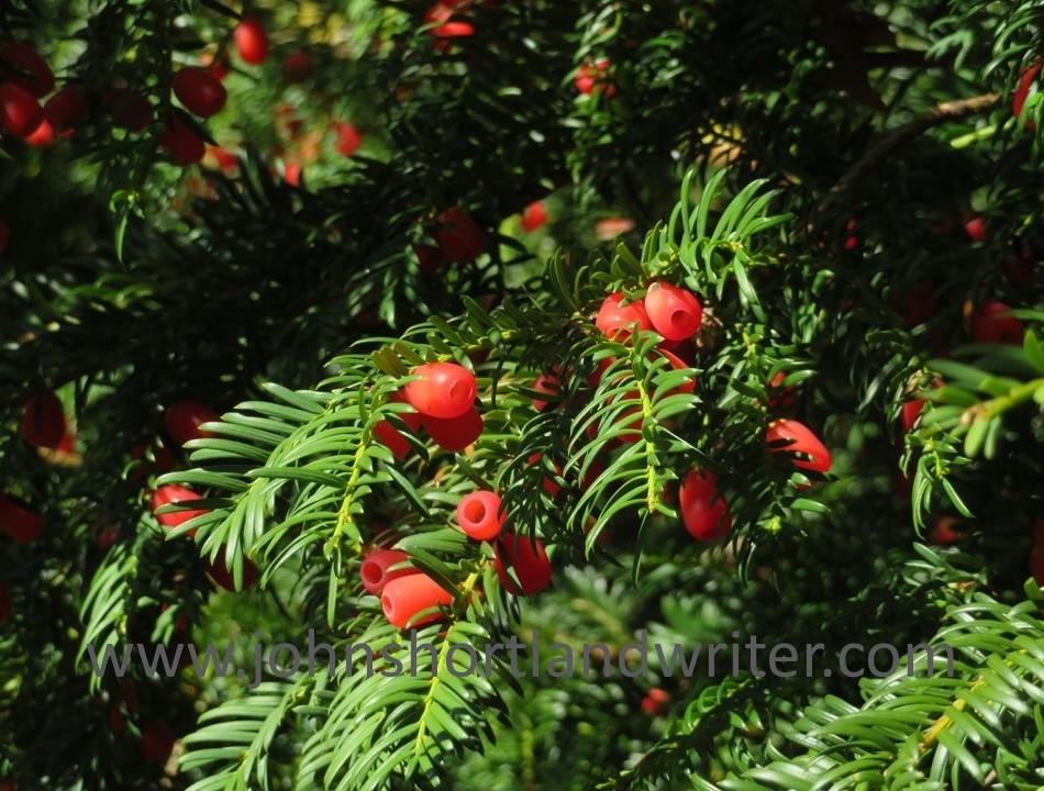 Swerford Park - Yew Berries(11) watermark