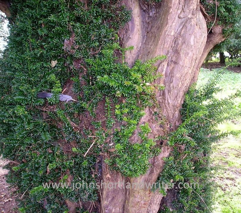 Yew (2) watermark