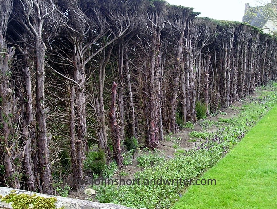 Yew Hedge Regeneration watermark